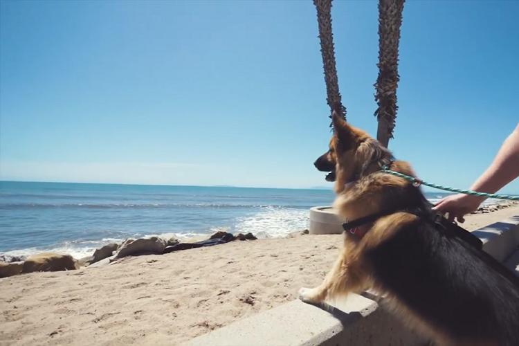 保護されたジャーマン・シェパードが初めての海に大興奮!感動の動画