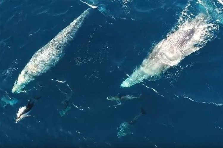 一緒に遊んでいる!?クジラとイルカが戯れる珍しい瞬間をとらえた映像が話題に!
