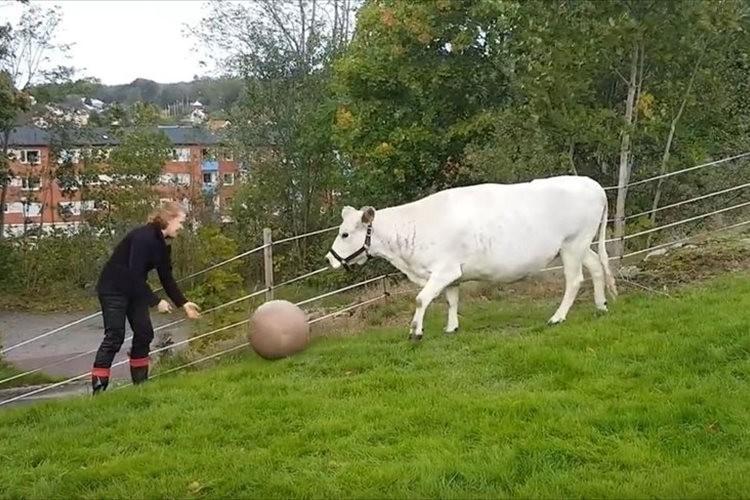 【動画】まるでワンコみたい!?ボール遊びではしゃぎまくる牛が微笑ましい♪