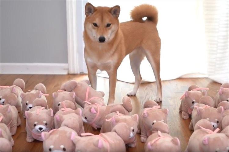 柴犬の飼い主が、飼い犬そっくりのぬいぐるみを大量に制作…困惑した柴犬のとった行動とは?