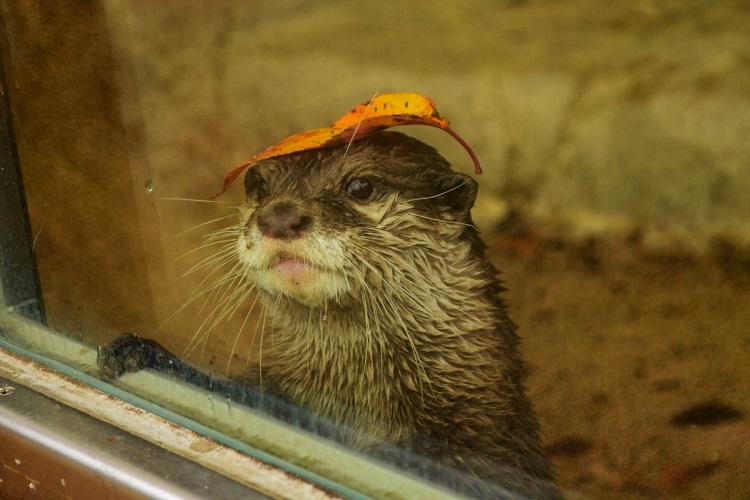 季節を感じる秋の装い…コツメカワウソさんが落ち葉の帽子でおしゃれに変身!