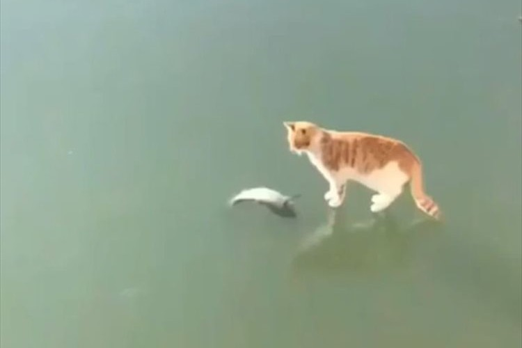 「いただくニャン!」大好物のお魚を発見するも…氷の下にあってとれず、激しくのたうちまわるニャンコ