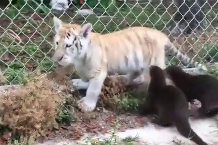 2匹のカワウソにしつこく追いかけられて困った表情…トラの子供が可愛らしい♪