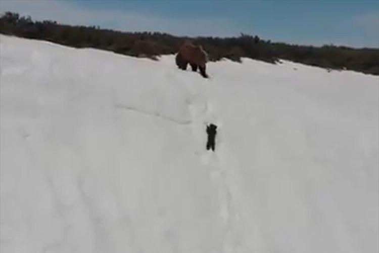 「頑張れ!頑張れ!」雪山を懸命に登ろうとする子熊とそれを見守る母熊の姿に多くの反響