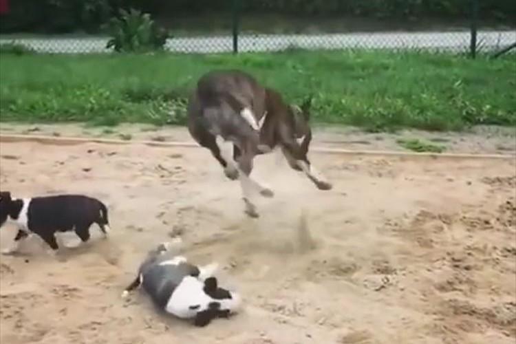 【動画】よっぽど砂場が好きなのか…子犬を弾き飛ばしてしまうほど親犬が大はしゃぎ!