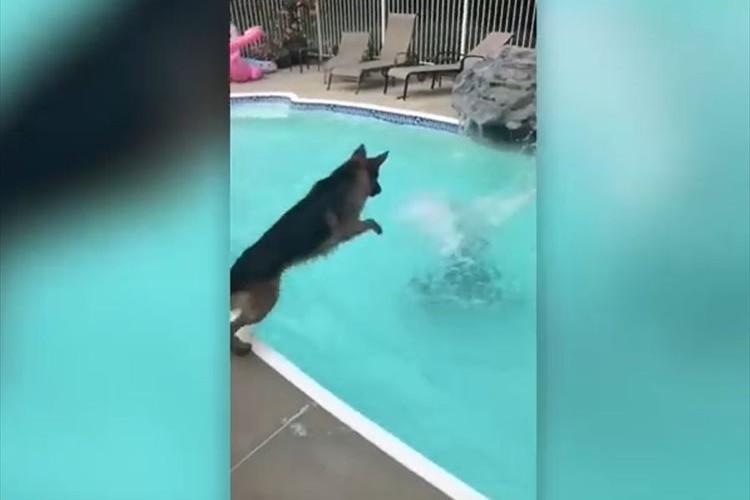 溺れている飼い主を助けるためにプールに飛び込むワンコ!愛と勇気のあふれる行動に心が打たれる