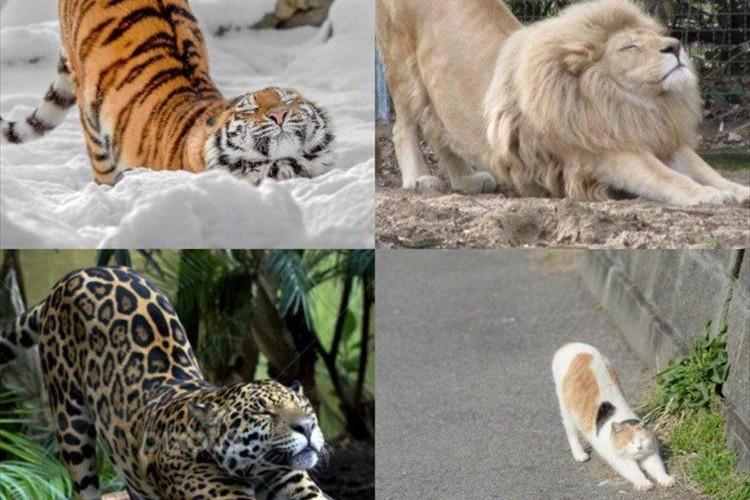 「猫はサイズに関係なく猫になります」同じように体を伸ばすネコ科の動物達が可愛らしい♪