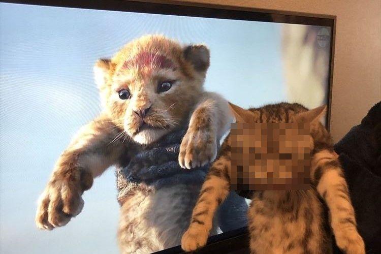 「ライオンよりも猛獣の眼をしてる...」ライオン・キングの再現をしてみたらブチギレキャットに!