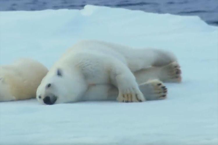 「丸い子猫みたい」ホッキョクグマが体についた海水を乾かす方法が可愛らしい♪