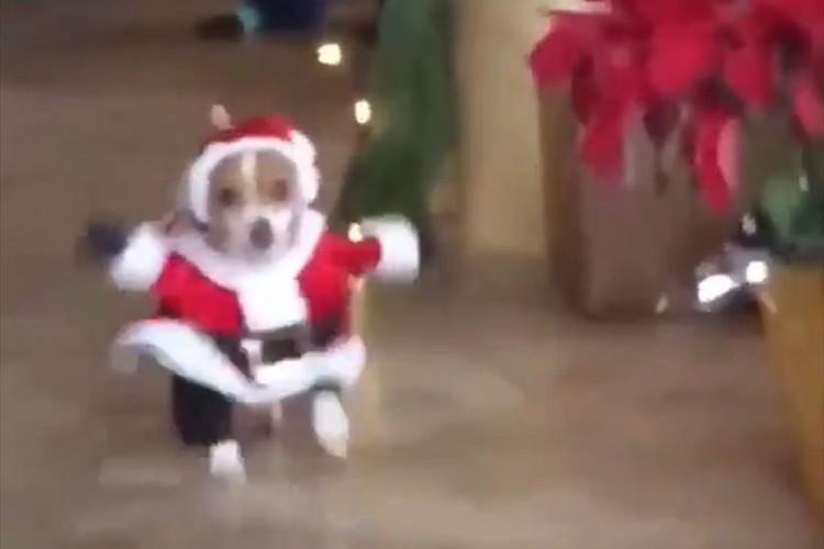 思わず何度も見てしまう…サンタの衣装でドタバタ走ってくるワンコが可愛すぎる♪