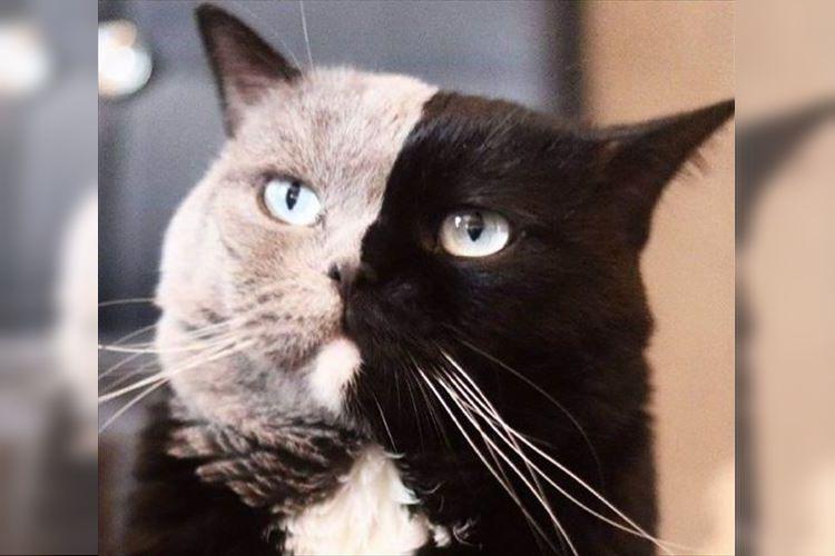 """黒とグレーの""""2つの顔""""を持つ美しさが魅力的!フランスに住む猫のナルニアちゃんが話題に"""