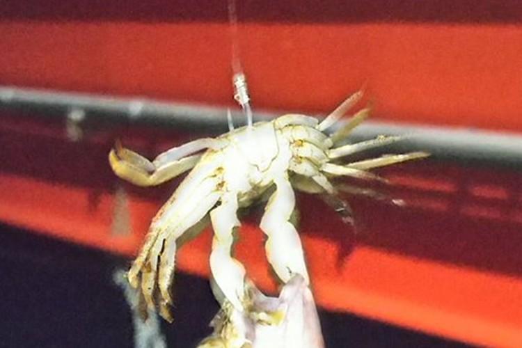 小さな蟹をエサにして魚を釣ったら...UFOキャッチャーみたいになって思わず爆笑