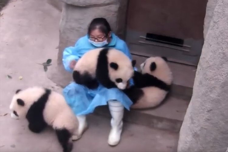 子パンダから大人気の飼育員…甘えてくる子パンダを一度は突き放すものの最後には…