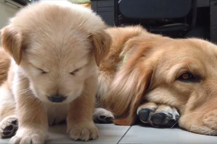 睡魔と格闘中の子犬が可愛すぎる♪ 奮闘するも、やっぱり睡魔には勝てなかった…