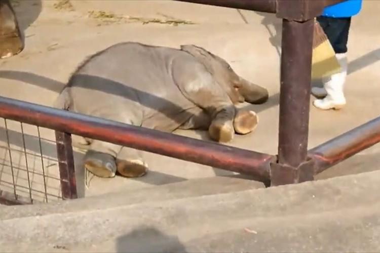飼育員さんに注意され、鼻をくわえてひっくり返る子ゾウが可愛すぎると話題に♪