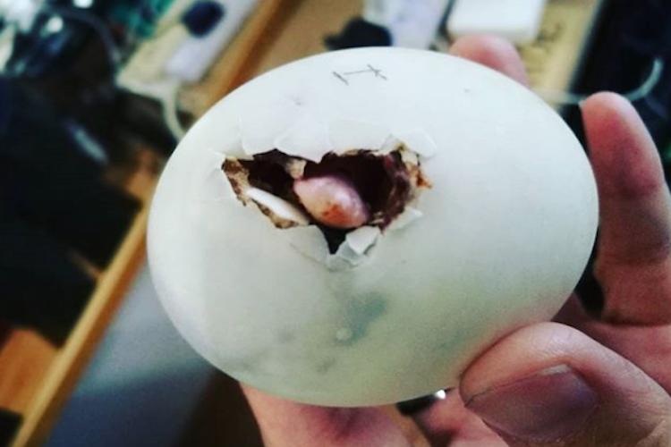 食用のアヒルの卵が孵化した!?マレーシア人女性が育てているアヒルの出生エピソードが凄い!