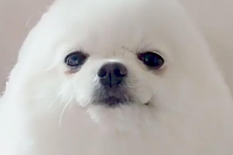 ヘアカットされるアザラシのような犬をフィギュア化!よく見たらハンプティダンプティみたい(笑)