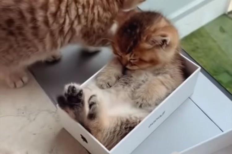 iPhoneの箱にすっぽりおさまっちゃった…お昼寝中の子猫がニャンとも可愛らしい♪
