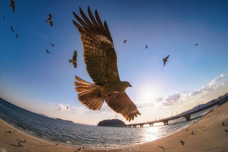 「最高にかっこいい写真が撮れた」雄々しく空を駆ける鳶の美しさを写した一枚が話題に