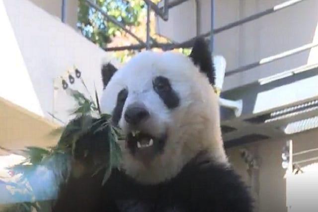 上野動物園のシャンシャンに悲劇が...!いったい何があった!?