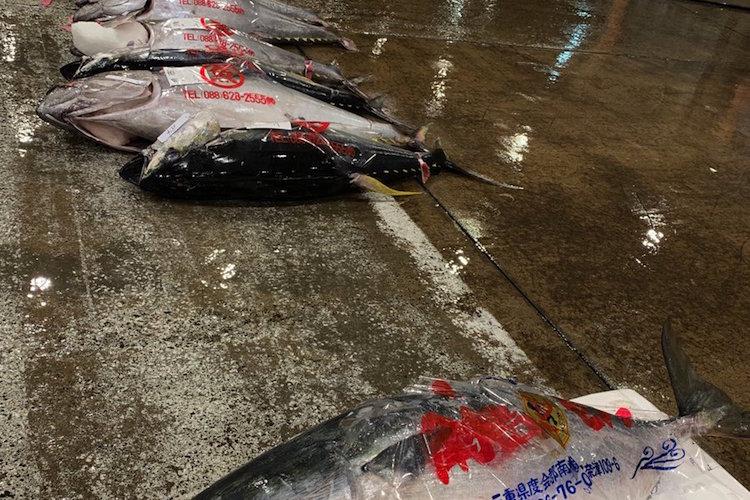 あれ?これマグロじゃない…マグロの養殖生け簀に紛れ込んだとある魚が巨大魚となって市場へ