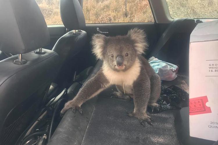 オーストラリアではこれが普通なの?車を開けっ放しにしていたらコアラが涼んでいた