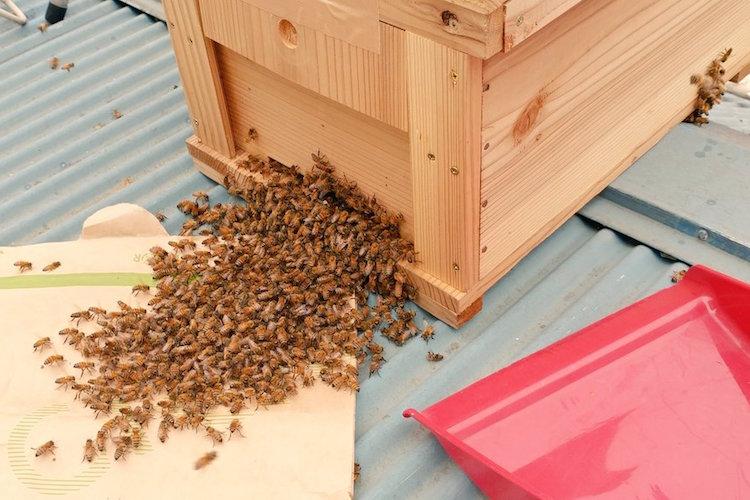 春はミツバチの巣別れの時期。ミツバチの集団を発見したら殺虫剤を使わずに養蜂場に連絡を!