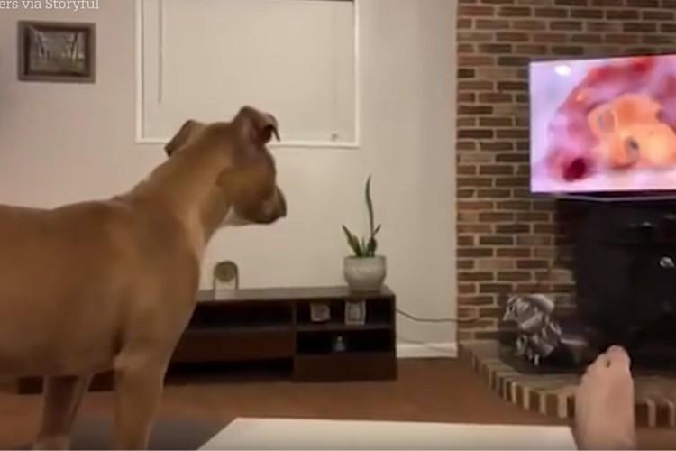 ワンコが映画「ライオンキング」をガン見。悲しいシーンに反応する姿が可愛い