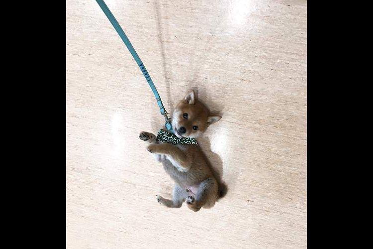 か…可愛い!こちらの『携帯ストラップみたいな柴犬』の現在の姿に驚き