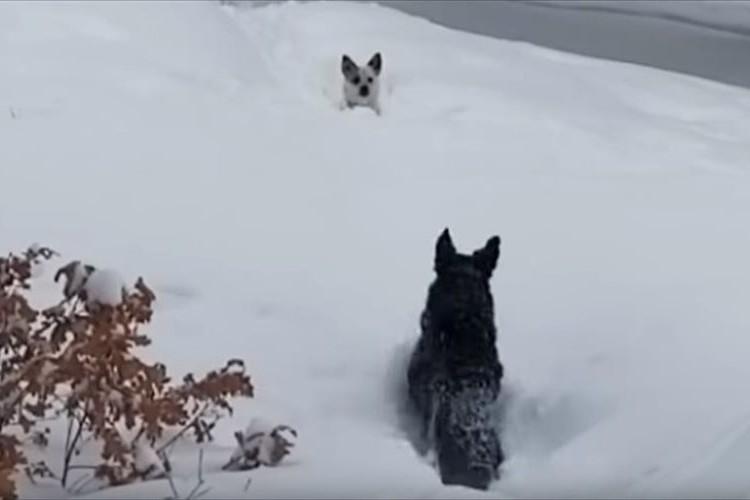 「なんて頼もしいんだ」「友情を感じる」雪に埋もれて脱出できない小型犬を大型犬が見事に救出!