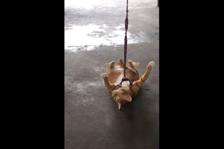 「まだまだお散歩したいニャ!」帰り道だと気づいたニャンコが仰向けになって抵抗するも…