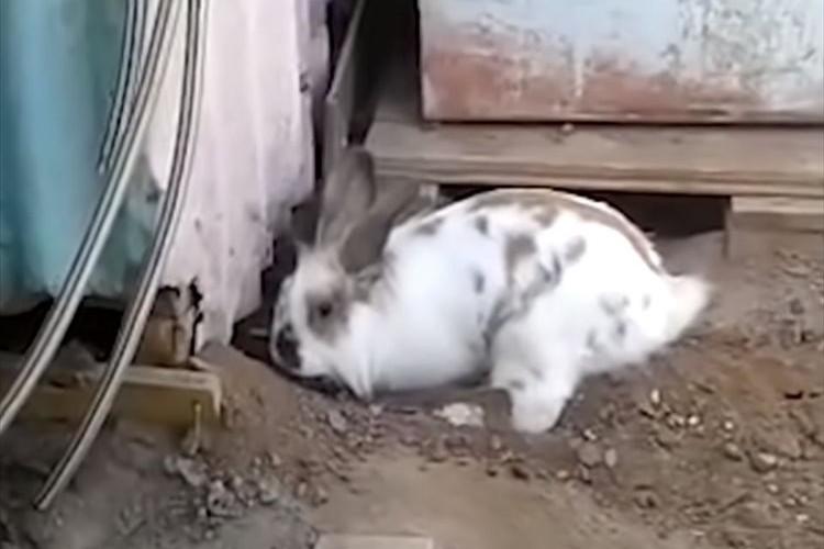 種を超えた友情!小屋から出られないニャンコを救うため、ウサギが必死に穴掘りを開始!