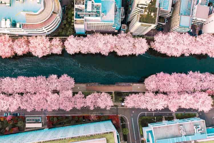 """「都会のド真ん中に突如現われた花道」感がスゴイ!""""目黒川の桜をドローンで撮影した写真""""が話題に"""