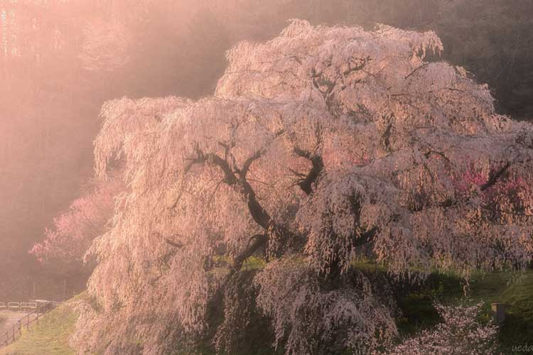 まるで昔話の世界!樹齢300年ともいわれるしだれ桜、奈良県の「又兵衛桜」が最高に美しいと話題に