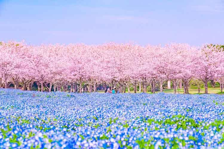 桜とネモフィラの美しきコラボ!ピンクとブルーのストライプが清々しい…福岡県 海の中道海浜公園