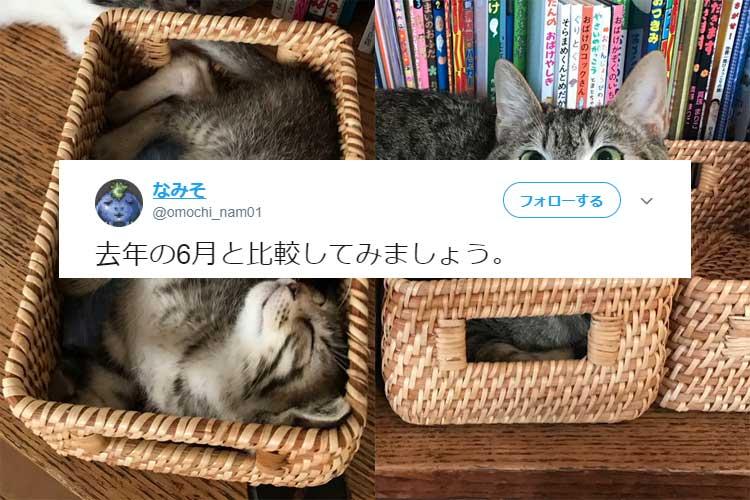 サイズが2倍でドヤ顔に!?子猫の頃から約10ヵ月…ある猫ちゃんの成長ぶりが激しいと話題