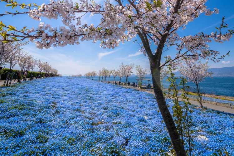 『大阪まいしまシーサイドパーク』はネモフィラの青い絨毯で大阪の新名所に!桜とのコラボも最高