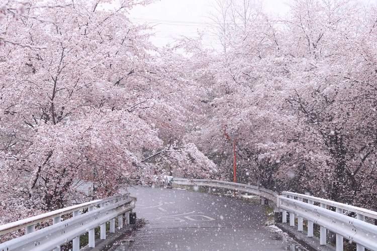 美しすぎる…秩父でみられた雪と桜の共演が幻想的【全3枚】