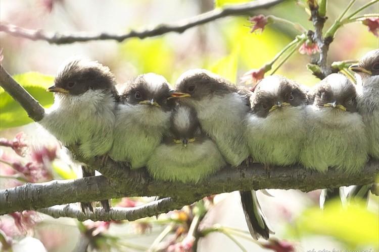 """左から3番目の子がムギュウってなってて可愛い♪ 体を寄せ合って木の枝に止まる""""エナガ""""に反響"""