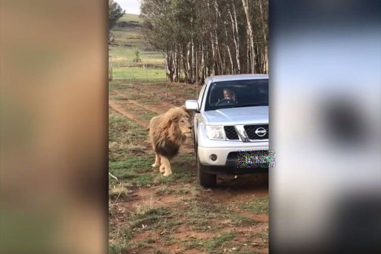 ライオンが車に近づいていき、いったい何をするのかと思いきや予想外の行動に…!