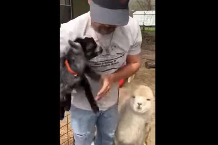 男性からのハグ待ちで群がる赤ちゃんヤギたち。どさくさまぎれにアルパカが現われるも…