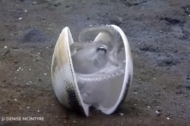 めちゃくちゃ器用(笑)貝殻にそろーっと引きこもるタコさんが撮影される