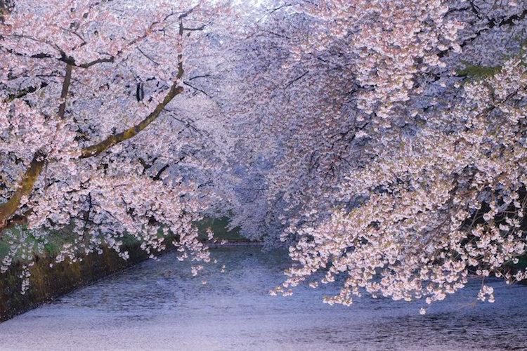 「遅い春を待ち侘びていたかのような狂い咲きだった」弘前公園の桜が今年も美しすぎる