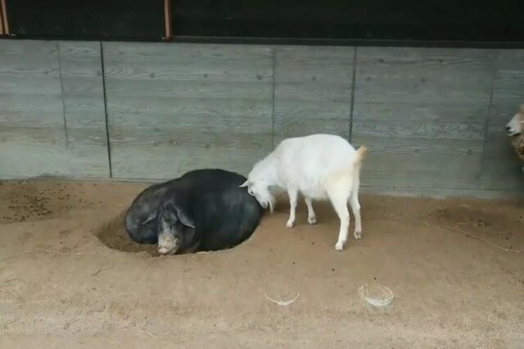 「ずっと豚のおしりを押し続けるヤギ」と「嫌がり続ける豚」の攻防戦が話題に