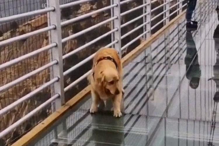 一体どうなってるんだワン!?ワンコがガラス張りの橋を渡ろうとするも、怖すぎて予想外の行動に…