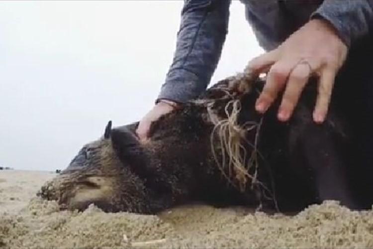野生のアザラシを捕まえて地面に押さえつける男性。一体何をしているのかと思いきや…