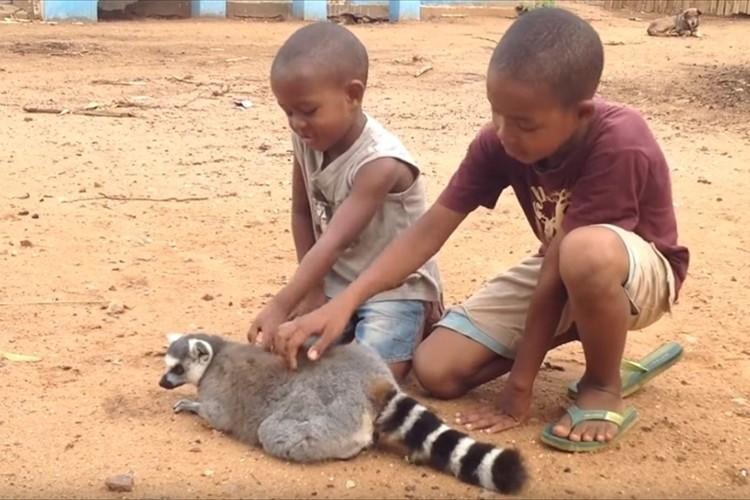 「ジェスチャーが人間みたい(笑)」背中をかいてもらってご満悦のキツネザル。子供達が手をとめると…