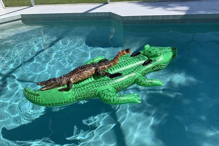 ワニのフロートの上に本物のワニが乗っていた…米フロリダの宿泊先のプールで発生した珍事が話題に!