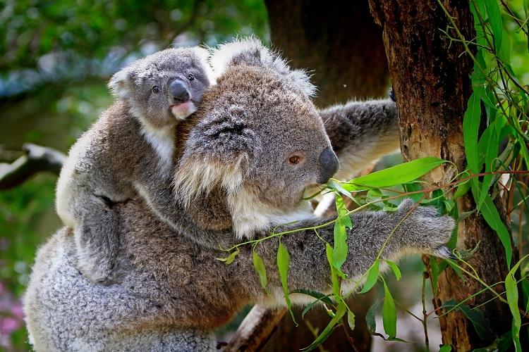 コアラはユーカリ以外食べないの?睡眠時間は動物の中で1位?コアラのエサや睡眠などの面白い生態について紹介!