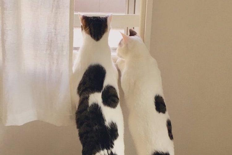 人は猫の下僕!?飼い主を踏み台にして外を眺めるニャンコの姿が話題に